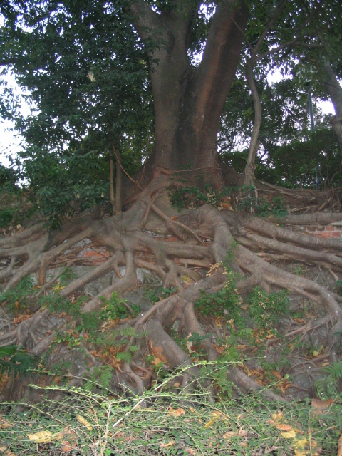 cool tree roots in Kowloon park.JPG