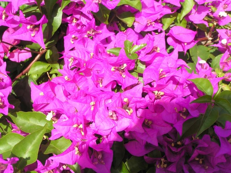 kihei flower.jpg