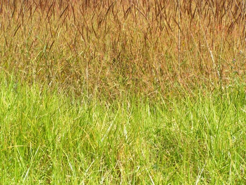 tricolor weeds.jpg